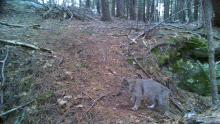 A bobcat at the Smith Property in Littleton, photographed with an automatically triggered wildlife camera by Dan Stimson.