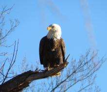 A bald eagle at Fort Meadow Reservoir in Marlborough, photographed by William Dunbar.