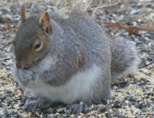 A gray squirrel in Sudbury, photographed by Sharon Tentarelli.