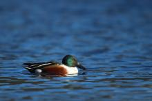 A northern shoveler at Hager Pond in Marlborough, photographed by Sue Feldberg.