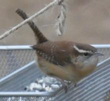 A Carolina wren in Sudbury, photographed by Sharon Tentarelli.