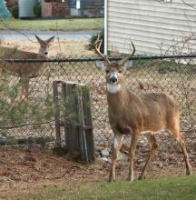 White-tailed deer in Hudson, photographed by Russ Place.