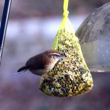 A Carolina wren in Lincoln, photographed by Harold McAleer.