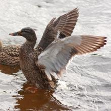 Mallards on Hop Brook in SVT's Memorial Forest in Sudbury, photographed by Dan Trippe.