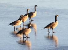 Canada geese at Hager Pond in Marlborough, photographed by Steve Forman.