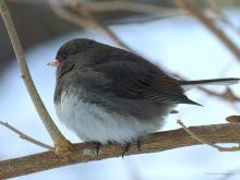 A dark-eyed junco in Northborough, photographed by Sandy Howard.