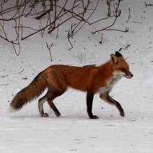 A red fox in Southborough, photographed by Eileen Samberg.