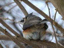 A tufted titmouse in Northborough, photographed by Sandy Howard.