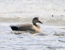 A gadwall at Hager Pond in Marlborough, photographed by Steve Forman.