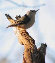 A white-breasted nuthatch in Sudbury, photographed by Dan Trippe.