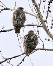 Red-tailed hawks in Framingham, photographed by Steve Forman.