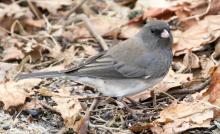 A dark-eyed junco in Lincoln, photographed by Steve Forman.