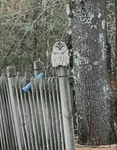 A barred owl in Wayland, photographed by Len May.