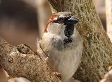 A house sparrow in Northborough, photographed by Sandy Howard.
