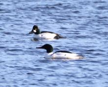 A common merganser (front) and a common goldeneye on the Sudbury Reservoir in Southborough, photographed by Steve Forman.
