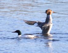 A pair of common mergansers on the Sudbury Reservoir in Southborough, photographed by Steve Forman.