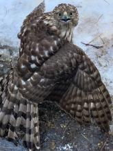 A Cooper's hawk in Sudbury, photographed by Heather Lambert.