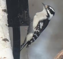 A downy woodpecker in Sudbury, photographed by Sharon Tentarelli.