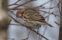 A house finch in Sudbury, photographed by Sharon Tentarelli.