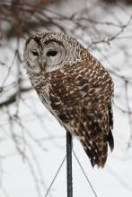 A barred owl in Berlin, photographed by Ursula Collinson.