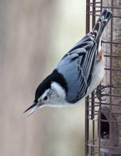 A white-breasted nuthatch in Framingham, photographed by Joan Chasan.