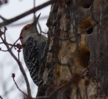 A red-bellied woodpecker in Sudbury, photographed by Sharon Tentarelli.