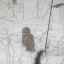 A barred owl in Stow, photographed by Guy Washburn.