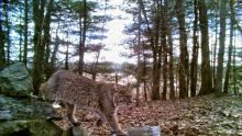 A bobcat at SVT's Smith Conservation Land in Littleton, photographed with an automatically triggered wildlife camera by Dan Stimson.