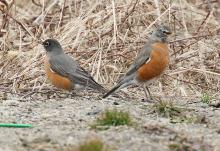 American robins at Breakneck Hill Conservation Land in Southborough, photographed by Steve Forman.