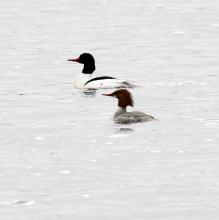 Common mergansers on the Sudbury River in Marlborough, photographed by Steve Forman.