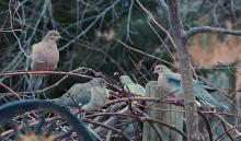 Mourning doves in Northborough, photographed by Sandy Howard.
