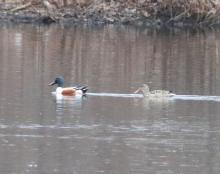 Northern shovelers at Hager Pond in Marlborough, photographed by Steve Forman.
