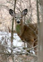 A white-tailed deer in Marlborough, photographed by Steve Forman.