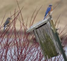 Eastern bluebirds at the Delaney Flood Control Site in Stow, photographed by Sharon Tentarelli.