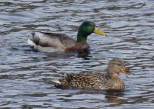 Mallards at the Delaney Flood Control Site in Stow, photographed by Sharon Tentarelli.
