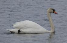 A mute swan at the Delaney Flood Control Site in Harvard, photographed by Sharon Tentarelli.