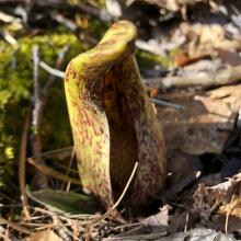 Skunk cabbage at Wolbach Farm in Sudbury, photographed by Robert Pease.