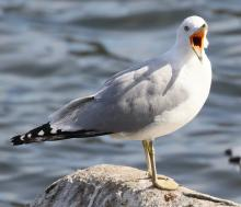A ring-billed gull at Hager Pond in Marlborough, photographed by Steve Forman.