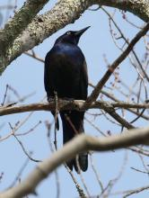 A common grackle at Great Meadows National Wildlife Refuge in Concord, photographed by Steve Forman.