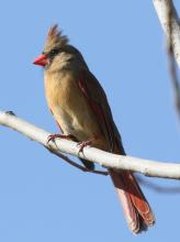 A northern cardinal at Breakneck Hill Conservation Land in Southborough, photographed by Steve Forman.