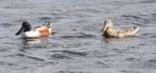 A pair of northern shovelers on Hager Pond in Marlborough, photographed by Steve Forman.
