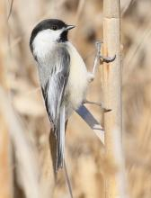 A black-capped chickadee at Breakneck Hill Conservation Land in Southborough, photographed by Steve Forman.
