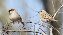 A pair of house sparrows at Breakneck Hill Conservation Land in Southborough, photographed by Steve Forman.