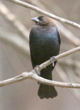 A brown-headed cowbird in Framingham, photographed by Steve Forman.