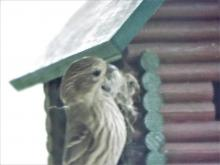 A female house finch in Harvard, photographed by Robin Right.