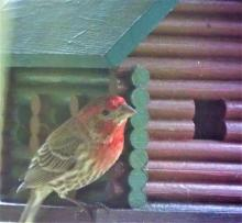 A male house finch in Harvard, photographed by Robin Right.