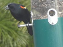 A red-winged blackbird at a feeder in Lincoln, photographed by Harold McAleer.