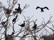 Double-crested cormorants at their nests on the Sudbury Reservoir in Southborough.