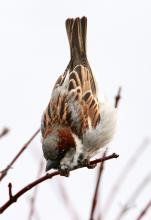 A male house sparrow at Hager Pond in Marlborough, photographed by Steve Forman.