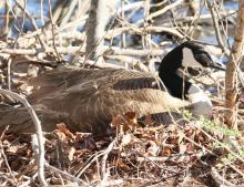 A Canada goose on a nest at Hager Pond in Marlborough, photographed by Steve Forman.